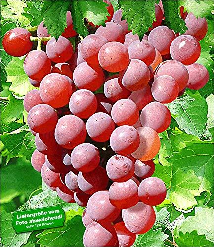 BALDUR-Garten Kernlose Tafel-Trauben 'Vanessa®' Weinreben rot, 1 Pflanze, Vitis vinifera Weintrauben kernlos (Roten, Wein Süßen)