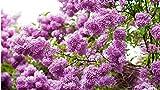 Veronica a spighe 'Noah Williams' Semi bianco Spillo Speedwell Flower Garden perenne fiore, Professional Service Pack, 50 Semi / Batterie