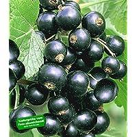 Containerware 40-60 cm 5 Stück Schwarze Johannisbeere /'Titania/' Ribes nigrum