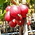 Rote Stachelbeere Busch Captivator 60 cm 3 L Co von VDG-Obst auf Du und dein Garten