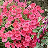 Plant World Seeds - Petunia 'Salmon Velvet' F1 Seeds