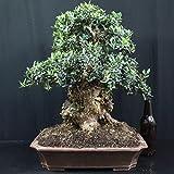 Bonsái Olivo, Olea europaea, 24 años, altura 45 cm