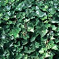 Efeu großblättrig, Hedera hibernica 10 Stück von Helix Pflanzen GmbH - Du und dein Garten