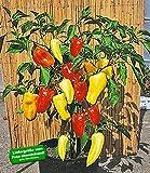 """BALDUR-Garten Ungarischer Paprika """"Gypsy"""" F1,2 Pflanzen Paprikapflanzen"""