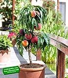 BALDUR-Garten Zwerg-Pfirsich 'Bonanza';1 Pflanze