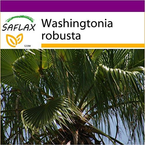 SAFLAX - Big Garden - Washingtonia Fächerpalme - 12 Samen - Washingtonia robusta