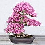Bluelover 10pcs jardin cerisiers Bonsai fleur graines Courtyard plante en pot