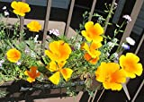 Cup of Gold or Californian poppy great for three seasons still blooming in my garden.: Eschscholzia californica