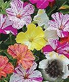20 Pcs / Sac Mirabilis Jalapa Marvel du Pérou Quatre O'clock Graines de fleurs mixtes, très Easy Grow Graines Jardin Fleurs à vendre