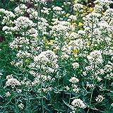 Go Garden Jupiter barbe (centranthe rouge Coccineus) blanc- 50 Graines