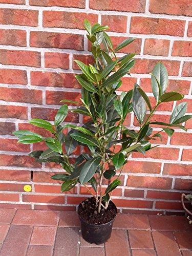 10 Kirschlorbeer Pflanzen, Höhe: 70-80 cm ab Topf, Prunus laurocerasus Caucasica,