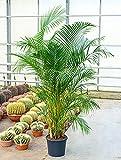 Goldfruchtpalme 140-180 cm im 35 cm Topf große Zimmerpflanze für hellen Standort Chrysalidocarpus lutescens 1 Pflanze