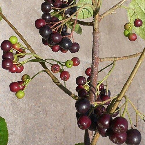 Müllers Grüner Garten Shop Aronia schwarze Apfelbeere großfruchtige Sorte Nero auf Stamm veredelt im 5-7,5 Liter Topf