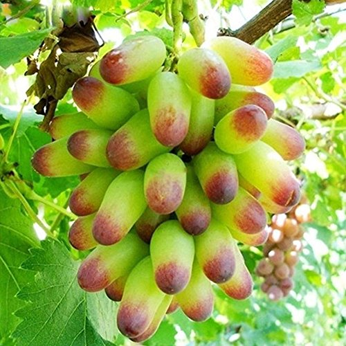 Dito d'oro semi d'uva vino vitis semi di frutta semi di dolce rara 50 pezzi/confezione orto maggiore piante da cortile