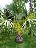 Tropica - Guadeloupe Palme (Brahea edulis) - 5 Samen
