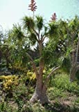 TROPICA - Flaschenbaumlilie / Elefantenfuß (Nolina recurvata syn. beaucarnea) - 10 Samen