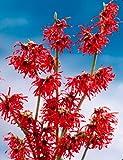 Zaubernuss Diana. rot blühend. 1 Pflanze - zu dem Artikel bekommen Sie gratis ein Paar Handschuhe...