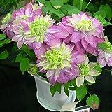 Rosso Clematis semi in vaso Clematis Arrampicata semi di fiore 300 particelle / bag