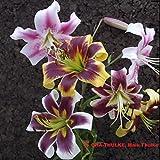 """Lilium - Hybrid-Lilien """" MIX """" 5 Zwiebeln"""