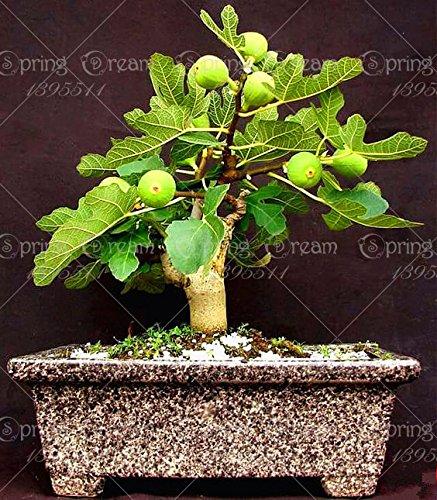 2bag Olea Europaea Mini Olive Bonsai Frische Exotische