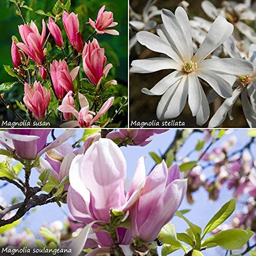 magnolia-trees-in-2l-pot-set-of-3-varieites-50cm-tall