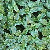 3000 Samen Basilikum Genovese – Ocimum basilicum, klassische, italienische Sorte
