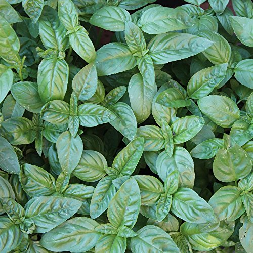 2500 Samen Basilikum Genovese - Ocimum basilicum, klassische, italienische Sorte