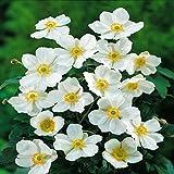 Anemone hybrida Honorine Jobert - 3 plants