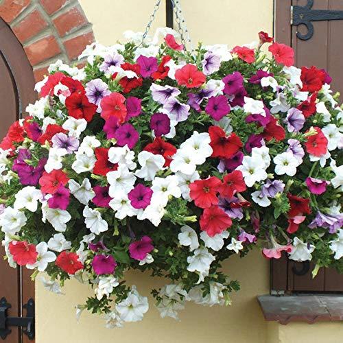 Virtue 24kinds Flowers 100pcs Bonsai Garden Plant Desierto Rose Poppy Peony Daisy Lavanda Lithops Hydrangea Violet Sunflower Lantern: 50-Petunia