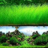 Aquarium Gras Pflanze Samen, West Coast Easy Aquatic Live,, für Garten Rasen Aquarium Aquarium Decor