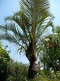 TROPICA - Dreieckspalme (Neodypsis decaryi) - 4 Samen