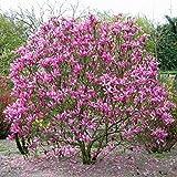 """Magnolia """"Susan"""" [Vaso Ø21cm]"""