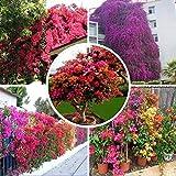 AGROBITS 10 Samen/pack Förderungen! Bunte Bougainvillea spectabilis Willd Samen Bonsai Pflanze Blumensamen Stauden Bougainvillea Samen: Mix