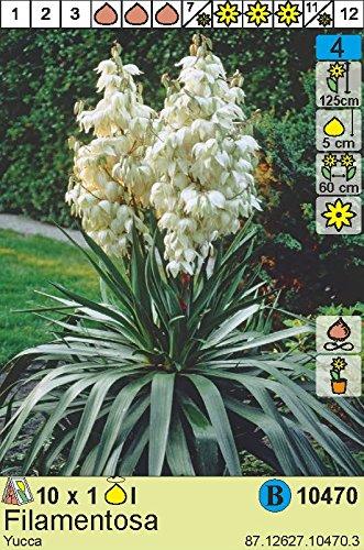 Yucca filamentosa - Yucca Palme (1)