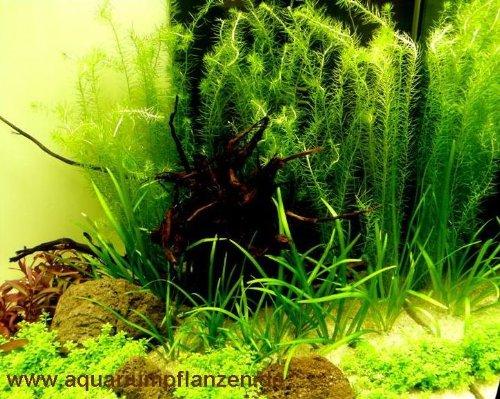 Mühlan Pflanzenhandel Nano 5, Wasserpflanzen Set für Nanoaquarium 30-40l