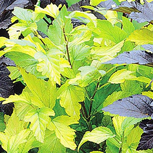 Physocarpus Darts Gold - 1 arbrisseau
