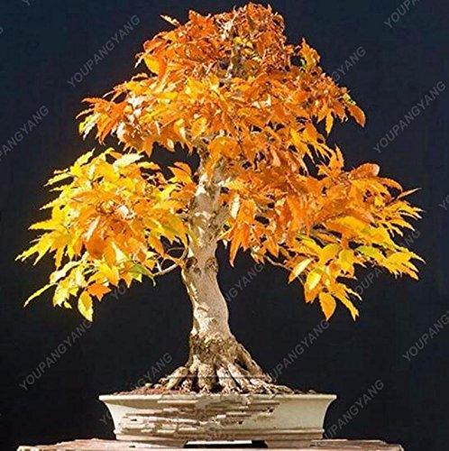 50 pcs / sac japonais Graines de Maple Maple Leafs de Toronto arbre Graines vivaces plantes ornementales Feu d'érable Bonsaï Jardin plantes rouge