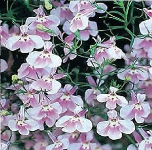 Just Seed Flower Trailing Lobelia Fountain Lilac 5000 Seed
