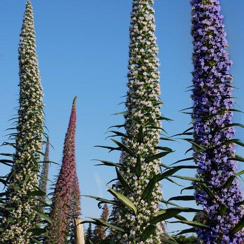 Plant World Seeds - Echium Pininana 3 Colours Seeds