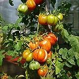 10 Samen Novogoschary Tomate – intensives Tomatenaroma, frühe Sorte