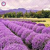 Semillas 100pcs jardín lavanda Familia plantas Semillas hermosas flores son muy fragantes y el crecimiento natural