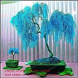 Verkauf 50Rare Sky Blue Willow Samen Chinesische Mehrjährige Pflanze Blume Innen-Pflanzen Samen Immergrüner Bonsai Baum für Garten Dekoration bunten