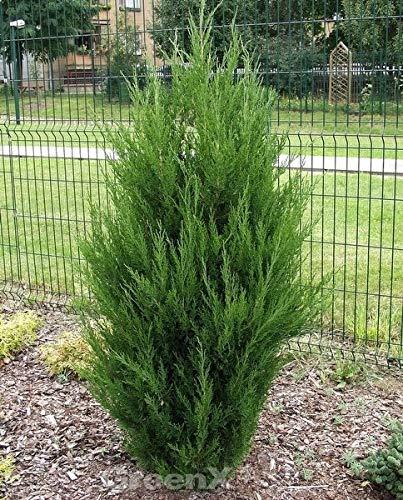 Zypressen Wacholder Spartan 60-80cm – Juniperus chinensis