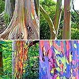 40pcs Regenbogen-Eukalyptus-Samen Eukalyptus Deglupta Seeds Garten Decor Pflanzen