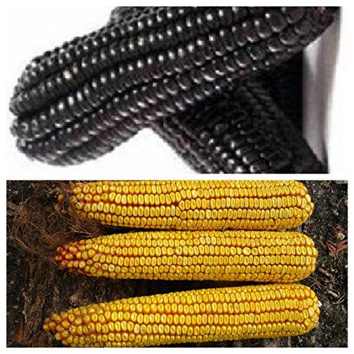 DUO: ungarischer schwarzer Mais und RIESENMAIS, samenfest KEIN GMO, 20+20 Samen, von unserer ungarischen Farm samenfest, nur natürliche Dünger, KEINE Pesztizide
