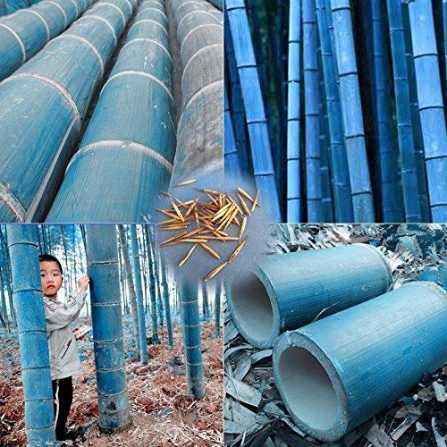 20 pcs / sac rares graines de bambou bleu, jardin décoratif, plante planteur bambu graines d'arbres pour le jardin de la maison diy envoyer un cadeau