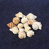 Jainsons Pet Products Sea Shell For Aquarium And Home Decoration 100 Gm 19-21 Pcs