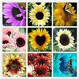 40 pc / sacchetto Semi di girasole, semi di girasole da piantare i semi, bonsai fiore, 10 colori, la crescita naturale per piantare giardino di casa
