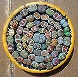 200 Suculentas mixtos semillas- Semillas Lithops, semillas crudas de piedra Cactus en maceta Los tallos de las flores