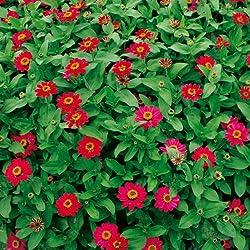Sperli Blumensamen Zinnien Profusion Cherry, grün